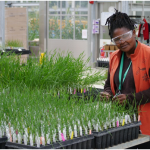 Ms Annah Nawa with Doubled Haploid wheat lines in the glasshouse at Jealott's Hill